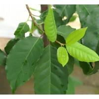 Afrička šljiva (Prunus Africana) - čudnovato medicinsko stablo