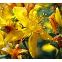 8 nevjerojatnih prednosti Gospine trave