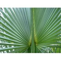 Zdravstvene prednosti Sabal palme:
